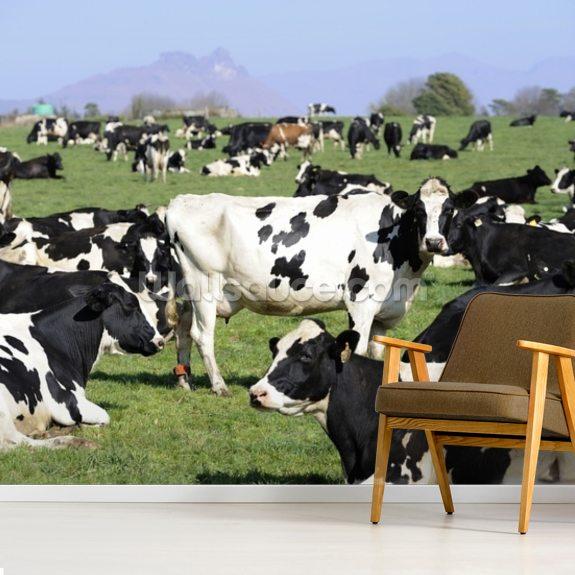 Holstein Cattle Wallpaper Mural Wallsauce De