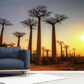 Baobab Trees at Sunset - Madagascar