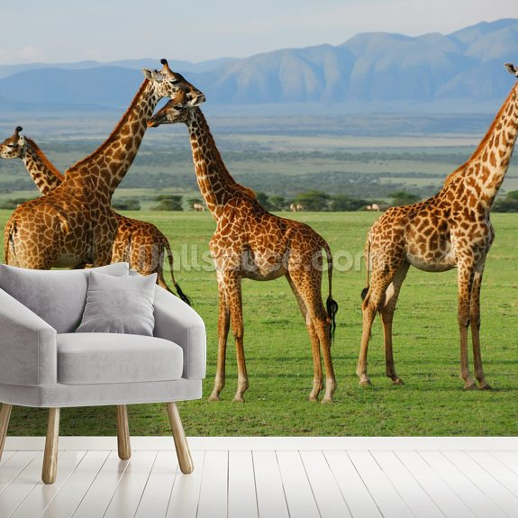 Giraffes mural wallpaper room setting