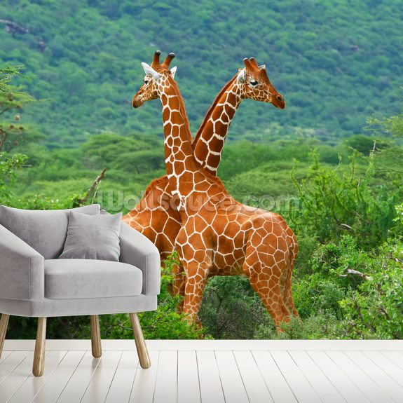Giraffe Fight mural wallpaper room setting