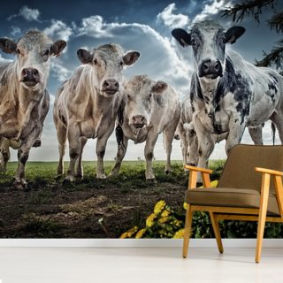 Mooooooo Wallpaper Wall Murals