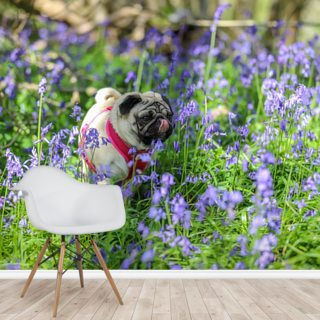 Pug in Bluebell Woods
