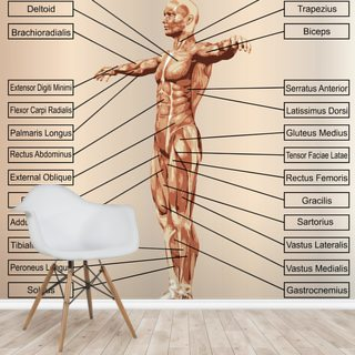 3D Human Male Anatomy with Muscles and Text Wallpaper Wall Murals