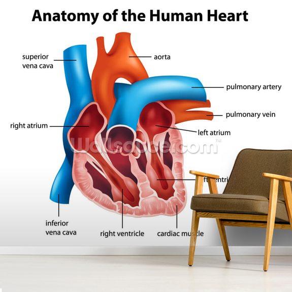 Human Heart Anatomy Wallpaper Mural Wallsauce New Zealand