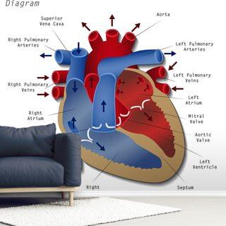 Human Heart Diagram Wallpaper Mural Wallsauce Eu
