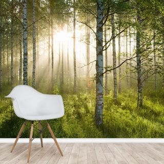 Birch Forest Sunlight Wallpaper Wall Murals