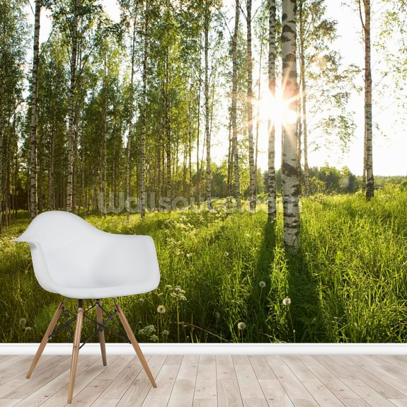 Sunlit Birch Tree Woodland mural wallpaper room setting
