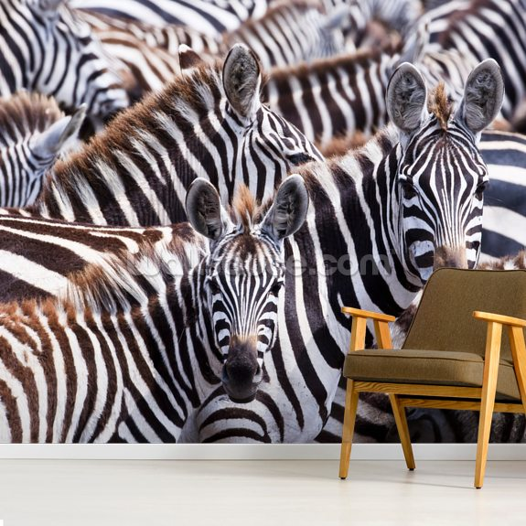 Zebra Gathering wallpaper mural room setting