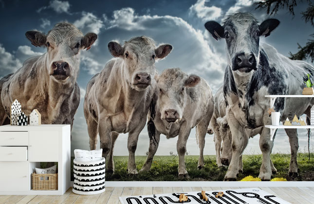 Cow Wallpaper Wallpaper Murals