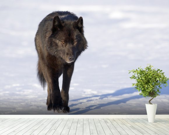 Black Wolf Walking In Snow wallpaper mural room setting