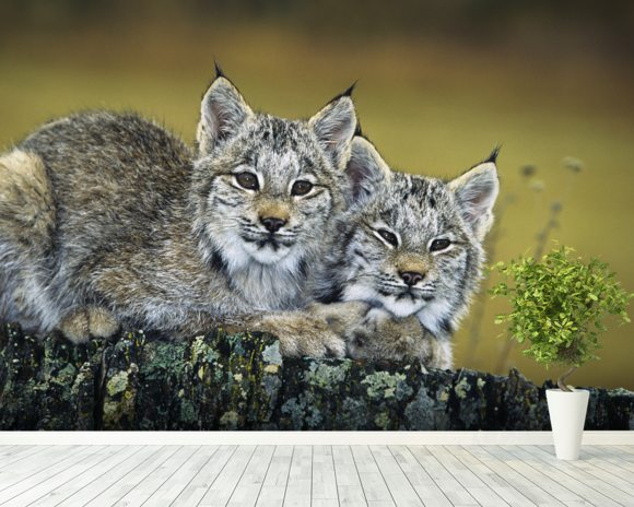 Lynx Kittens Cuddled Together On Rock mural wallpaper room setting