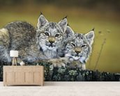 Lynx Kittens Cuddled Together On Rock mural wallpaper living room preview