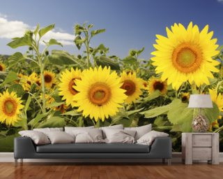 Hawaii, Oahu, North Shore, Sunflower Field wallpaper mural
