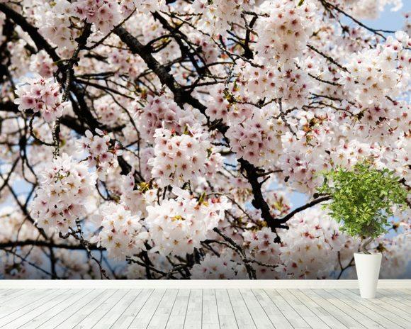 Japan cherry blossom season tokyo shinjuku gyoen park for Cherry blossom wallpaper mural