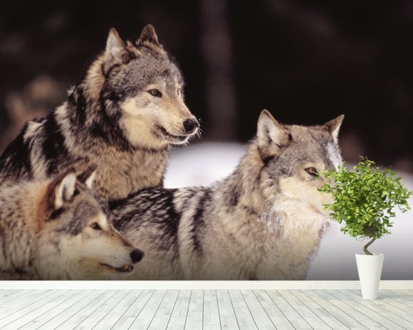 Three Gray Wolves At The Forests Edge mural wallpaper room setting