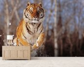 Siberian Tiger Charging Through Winter Snow wall mural living room preview