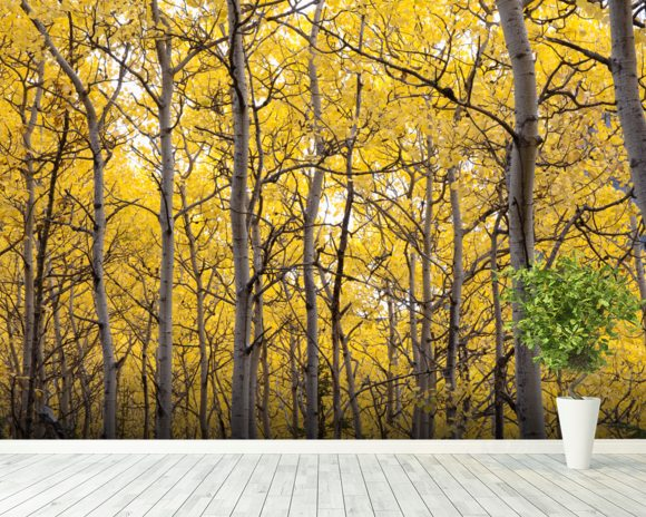 Autumn scenic of colorful yellow aspen trees wall mural for Autumn tree mural