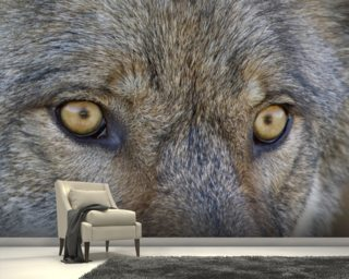 Eyes Of A Gray Wolf wall mural