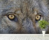 Eyes Of A Gray Wolf wall mural in-room view