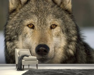 Wild Grey Wolf mural wallpaper