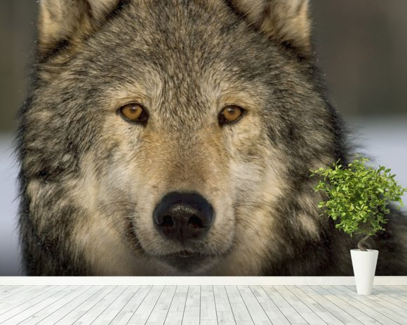 Wild Grey Wolf mural wallpaper room setting