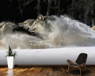 Pack Of Grey Wolves Running Through Deep Snow wall mural