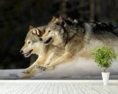 Pack Of Grey Wolves Running Through Deep Snow 2 wallpaper mural in-room view