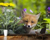 Red Fox Kit In Spring Wildflowers Minnesota wallpaper mural kitchen preview