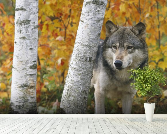 Wolf In Forest Autumn - Minnesota mural wallpaper room setting