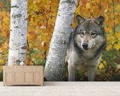 Wolf In Forest Autumn - Minnesota mural wallpaper living room preview