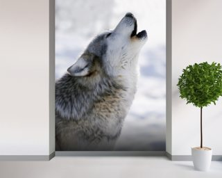 Gray Wolf Howling in Winter wall mural