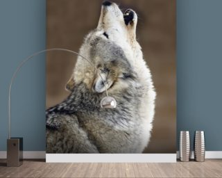 Gray Wolf Howling Portrait wallpaper mural