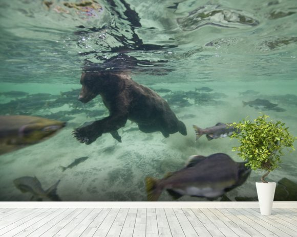 Grizzly Bear Swimming After Spawning Salmon mural wallpaper room setting