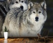 Gray Wolves in Winter at Grizzly and Wolf Center mural wallpaper kitchen preview