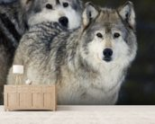 Gray Wolves in Winter at Grizzly and Wolf Center mural wallpaper living room preview