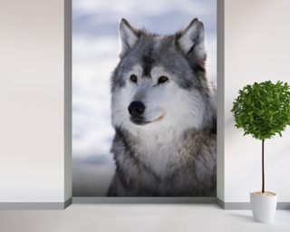 Gray Wolf Winter Portrait wall mural