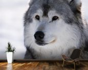 Gray Wolf Winter Portrait wall mural kitchen preview