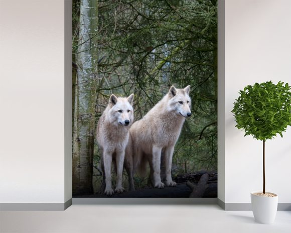 White Wolf Pair at the Woodland Park Zoo in Seattle wallpaper mural room setting