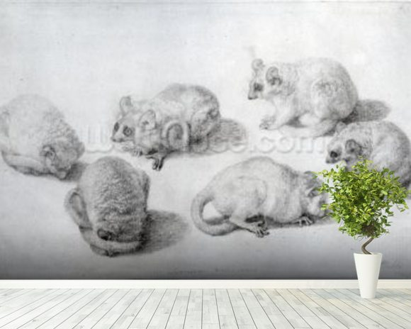 Studies of a Lemur, 1773 (graphite on paper) wall mural room setting