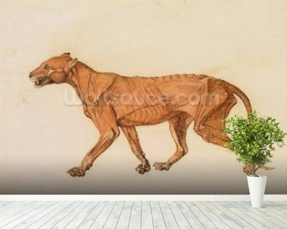 Tiger, Lateral View, Skin Removed, from A Comparative Anatomical Exposition of the Structure of the Human Body with that of a Tiger and a Common Fowl (red chalk and ink on paper) wall mural room setting