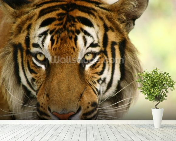 Tiger Close Up wall mural room setting