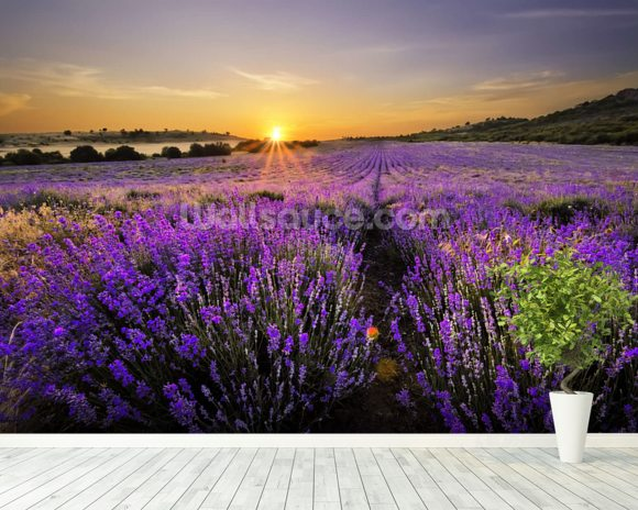 Sunset over Lavender Field wall mural room setting