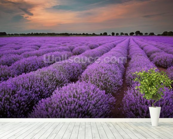 Fields of Lavenders wallpaper mural room setting