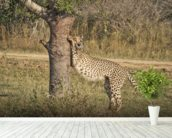 Stretching Cheetah wall mural in-room view
