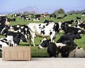 Holstein Cattle wall mural living room preview