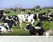Holstein Cattle wall mural in-room view