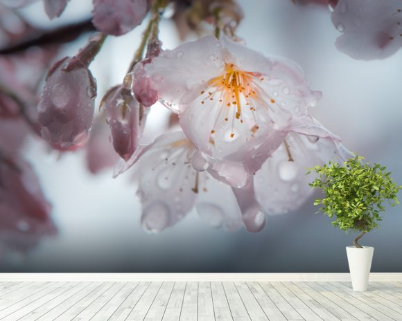 Raindrops on cherry blossom nick jackson wall murals for Cherry blossom wallpaper mural