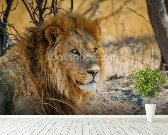 Lion in Africa mural wallpaper room setting