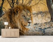 Lion in Africa mural wallpaper living room preview