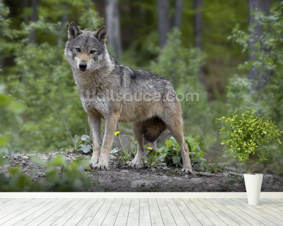 Wolf in the Woods wallpaper mural room setting
